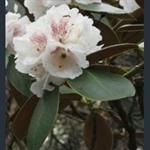 Picture of Rhododendron traillianum