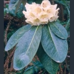 Picture of Rhododendron macabeanum