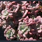 Picture of Sedum spathulifolium 'Purpureum'