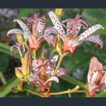 Picture of Tricyrtis formosana