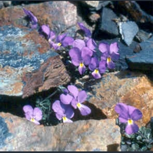 Picture of Viola bubanii