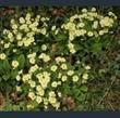 Picture of Primula vulgaris