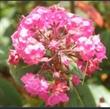 Picture of Kalmia angustifolia