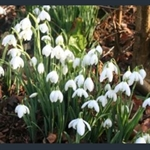 Picture of Galanthus nivalis f. pleniflorus