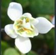 Picture of Galanthus nivalis f. pleniflorus
