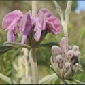 Picture for category Phlomis
