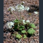 Picture of Androsace rotundifolia
