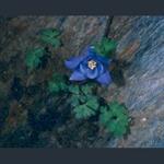 Picture of Aquilegia pyrenaica ex Pic d'Anie