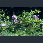 Picture of Clematis alpina