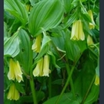 Picture of Disporum uniflorum