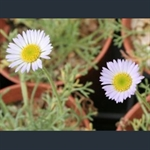 Picture of Erigeron chrysopsidis