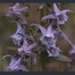 Picture of Halenia elliptica