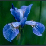 Picture of Iris sibirica