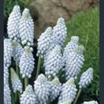 Picture of Muscari armeniacum 'Valerie Finnis'