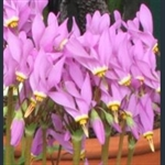 Picture of Primula (Dodecatheon) jeffreyi subsp. pygmaeum