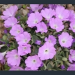 Picture of Primula allionii 'Gilderdale Glow'