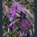 Picture of Primula halleri