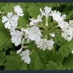 Picture of Primula sieboldii 'Snowflake'