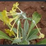 Picture of Primula simensis