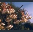 Picture of Sorbus aff. cashmiriana