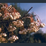 Picture of Sorbus aff. cashmiriana