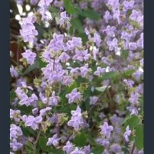 Picture of Thalictrum delavayi
