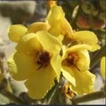 Picture of Verbascum delphicum