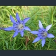 Picture of Gentiana paradoxa