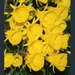 Picture of Narcissus bulbocodium subsp. obesus 'Diamond Ring'