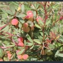Picture for category Berberis