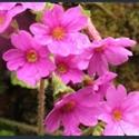 Picture for category Primula Obconicolisteri section