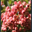 Picture for category Sorbus Aucuparia section - rowans