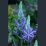Picture of Camassia leichtlinii subsp. suksdorfii Caerulea Group