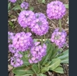 Picture of Primula denticulata