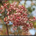 Picture of Sorbus bulleyana