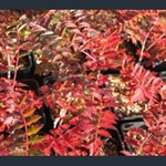 Picture of Sorbus eburnea