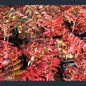 Picture of Sorbus eburnea