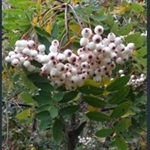 Picture of Sorbus forrestii