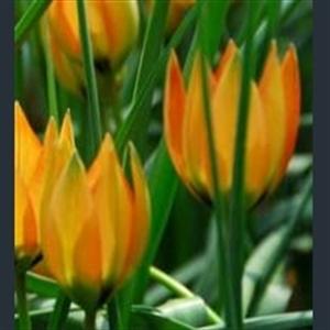 Picture of Tulipa orphanidea Whittallii Group