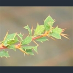 Picture of Berberis aff. hamiltoniana