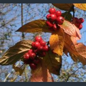 Picture of Cotoneaster ogisui