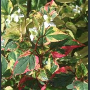 Picture of Houttuynia cordata 'Chameleon'