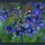 Picture of Primula calderiana purple-flowered