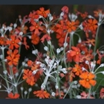 Picture of Primula cockburniana orange