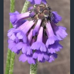 Picture of Primula muscarioides