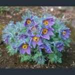 Picture of Pulsatilla vulgaris