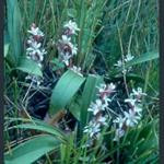 Picture of Reineckia carnea