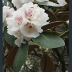 Picture of Rhododendron traillianum