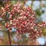 Picture of Sorbus bulleyana