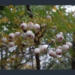 Picture of Sorbus hughmcallisteri